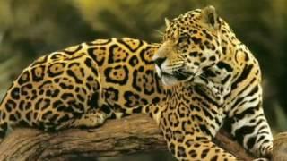 Видео про ягуара