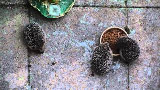 Hedgehog Hoglets experience rain for the first time.