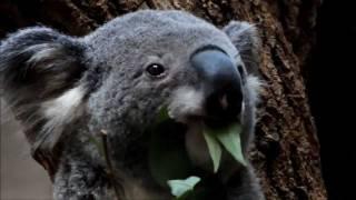 名古屋市の東山動植物園では、1984年に「コアラ舎」が開設され今日に至...