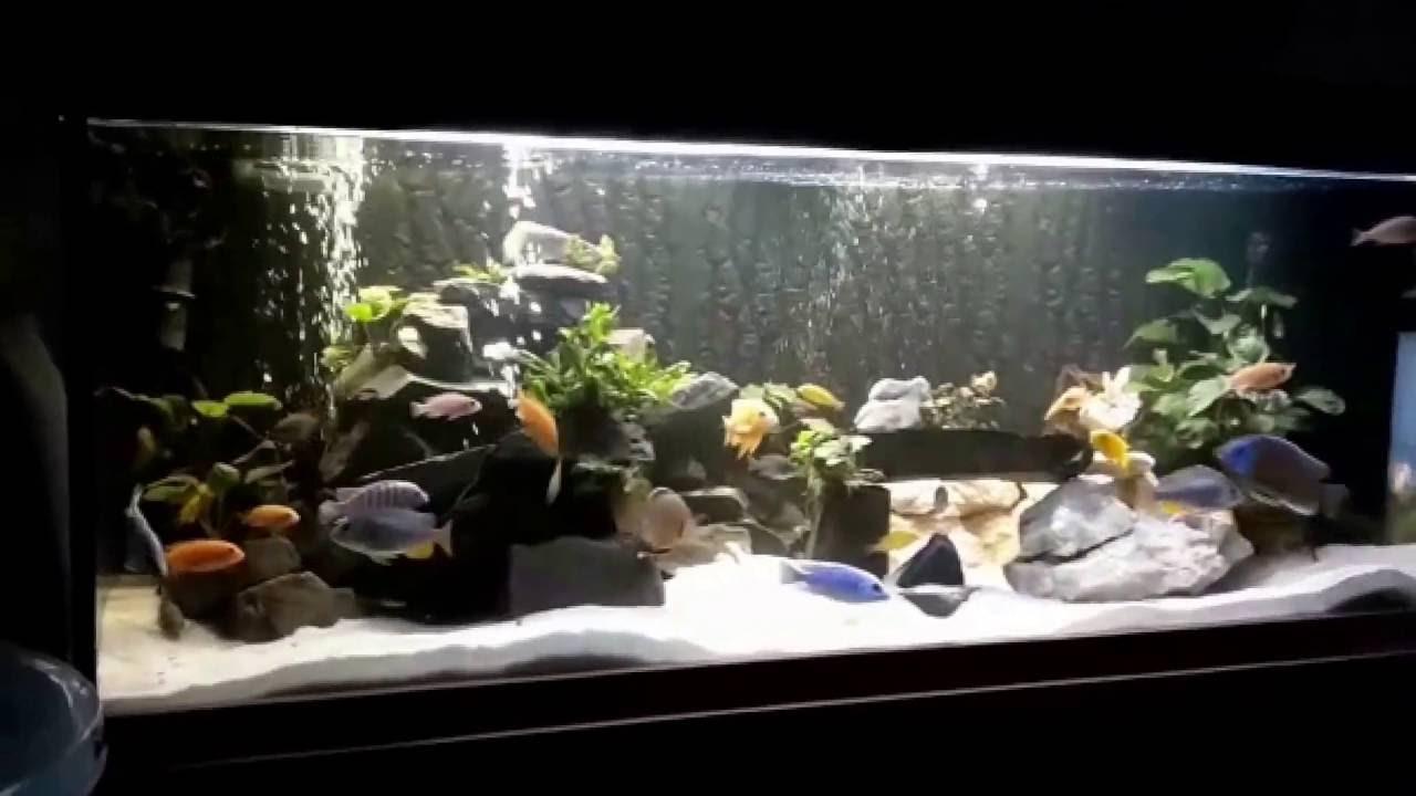 buntbarsch aquarium welz zierfisch s wasser aquarium querformat youtube. Black Bedroom Furniture Sets. Home Design Ideas