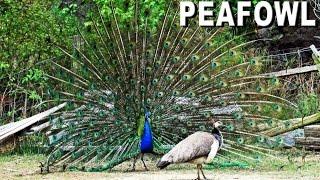 blauer pfau lockt seine weibchen an baustelle pfau beim balzen