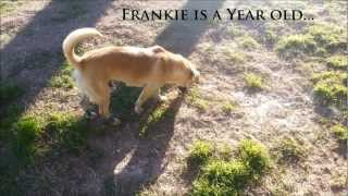 Adopt Frankie : A Year Old Welsh Corgi. Saved From The Euthanasia List.