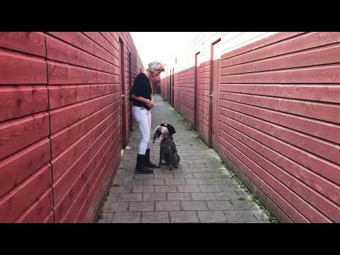 Training Jachthondenpup – Kort apport konijn