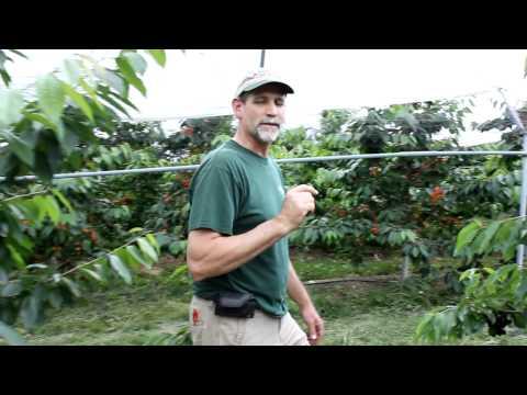 Cherry Varieties.MOV
