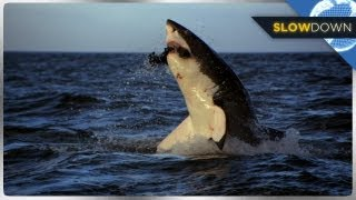 Great White Shark Breaches in SLOW MOTION