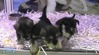 Purebred Mini Schnauzer Puppies