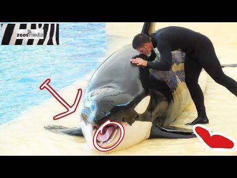 ORCA teeth: tooth care at LORO PARQUE (Tenerife) | zoos.media