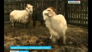 В Приморском районе появились козы невиданной для севера породы