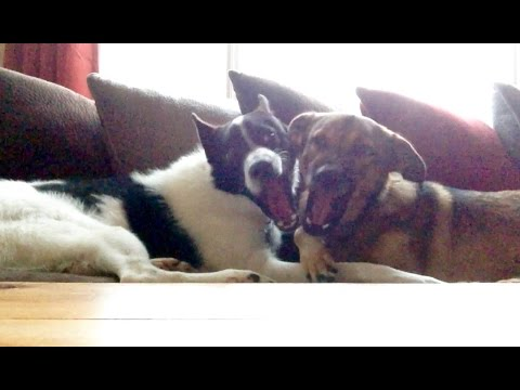 Belgian Malinois Mix and Karelian Bear Dog Mix Cuddling