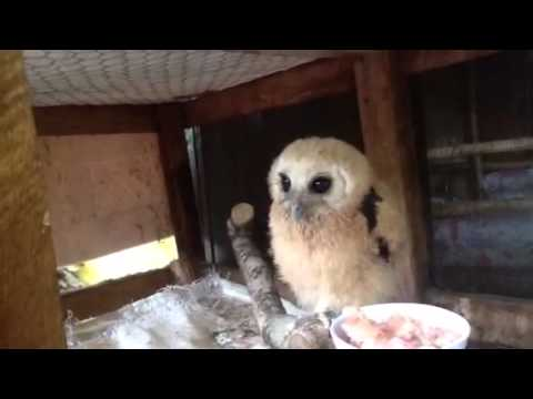How to feed a baby owl