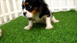 Cavalier King Charles Spaniel Puppies For Sale San Diego Puppy Tricolor