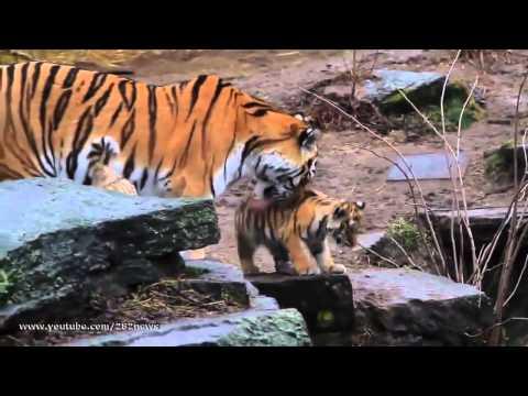 Амурский тигр Википедия