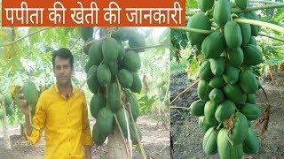 पपीते की खेती के बारे में पूरी जानकारी | How to grow Papaya - Full Information