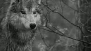 L'ultimo lupo di Silvana Cenciarelli - Video poesia Massimo Rotundo