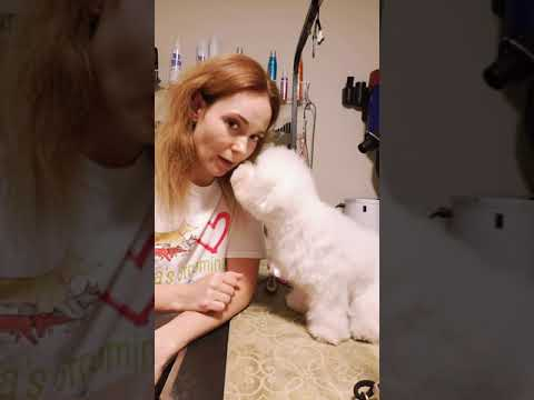 How to brush puppy Bichon Frise