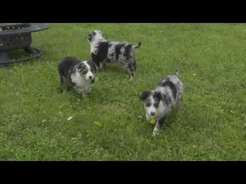 Robert Miller's Australian Shepherd Puppies