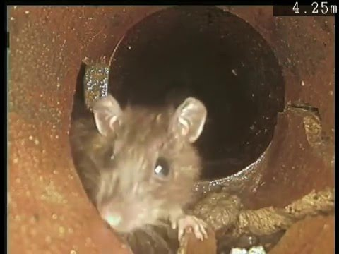 Rats in Blocked Drain CCTV Report by Drainage Contractor www