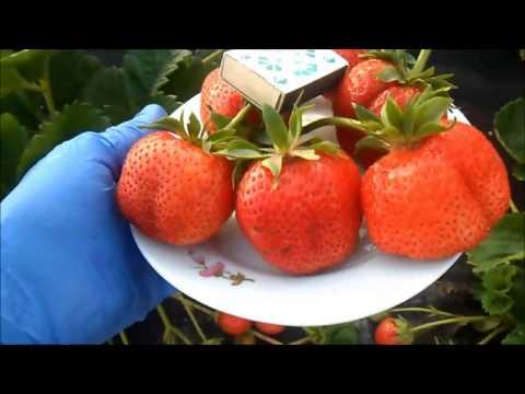 Клубника в Беларуси. ГАЛЯЧИВ - поздний, итальянский сорт с шикарной, сладкой ягодой.