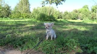 Купить щенка длинношерстного чихуахуа в Москве