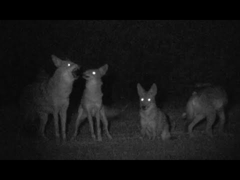 Urban Coyote Pack Howling (@coyotecams)