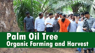 """Palm Oil Tree"" Organic Farming and Harvest at East Godavari, Andhra Pradesh | Patanjali Ruchisoya"