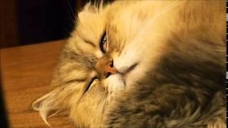 レム睡眠のドナ子ちゃん My cat during REM sleep