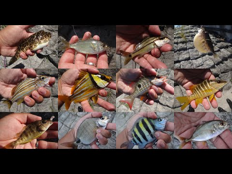Micro-Fishing Feast On The Intracoastal Waterway (Laurderdale-by-the-Sea, FL)