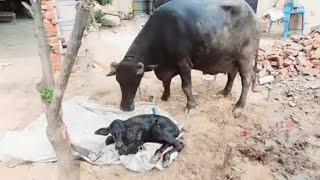 Buffalo's Delivery , ਅੱਜ ਘਰ ਆਇਆ ਇੱਕ ਹੋਰ ਨਵਾਂ ਮਹਿਮਾਨ । Pind Punjab de