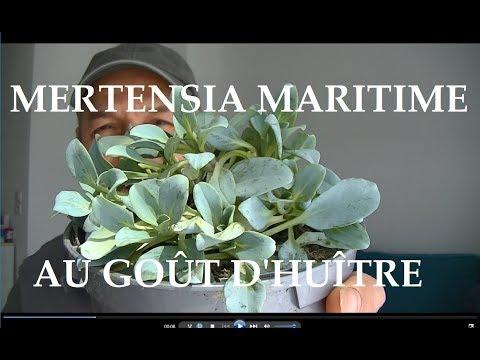 La plante au goût incroyable d'huître la Mertensia maritime ou ( maritima )