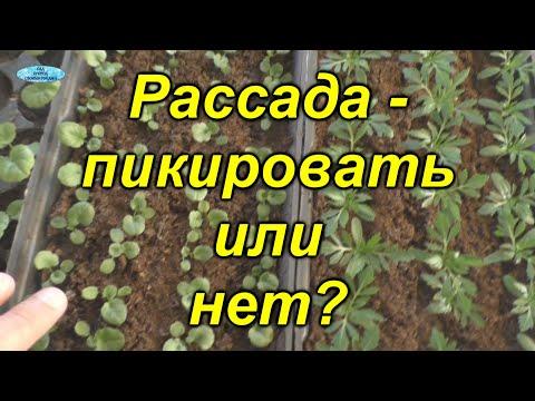 Вопрос: Рассаду каких цветов можно не пикировать?