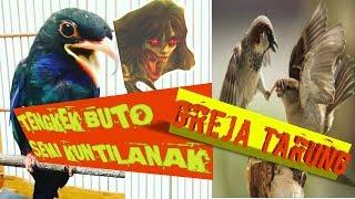 Download Lagu Kejamnya Masteran Tengkek Buto Kesurupan Kuntilanak Mix Greja Tarung Nyeret MP3