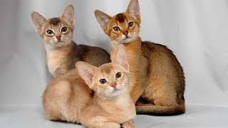 Как правильно содержать абиссинскую кошку