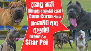 දැකපු නැති බිහිසුණු පෙනුමක් ඇති Cane Corso එක්ක ලංකාවට ආපු අලුත්ම breed එක Shar Pei | Pet Talk