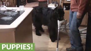 Newfoundland learns how to fetch beer & pretzels!