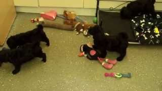 Little Rascals Uk Breeders New Litter Of Black Cockapoo Boys And Girls - Puppies For Sale 2015