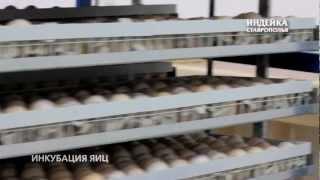 Инкубация индейки(, 2012-12-04T09:06:49.000Z)