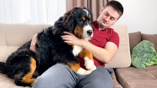 How My Bernese Mountain Dog Reacts to Hugs