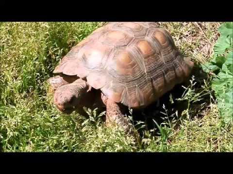 Desert Tortoise Adoption - California, San Diego