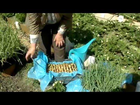 Зеленый лук выращивание в ящиках,клубника.