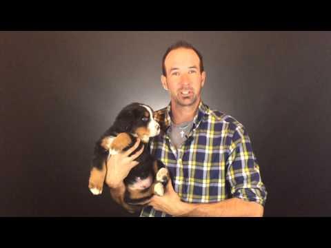 Bernese Mountain Dog Puppy Update (Green)