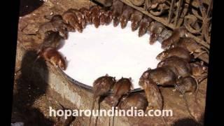 Karni Mata Temple - Deshnok Rat temple