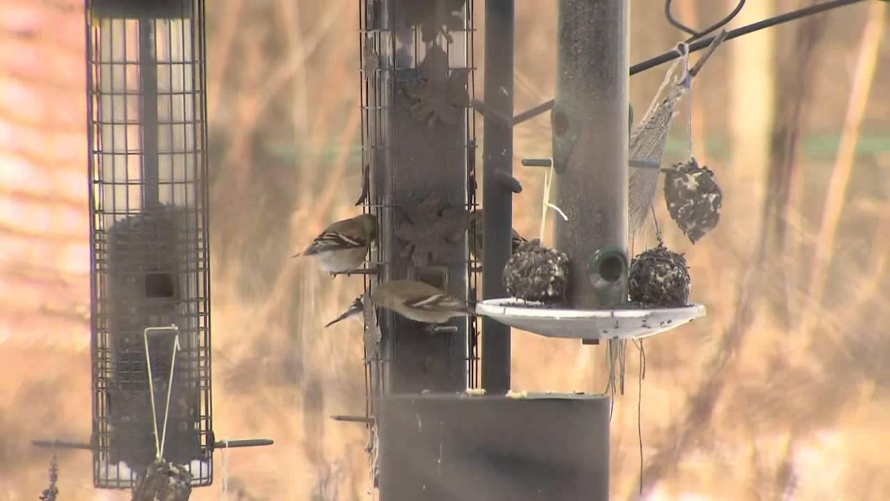 the great backyard bird count youtube