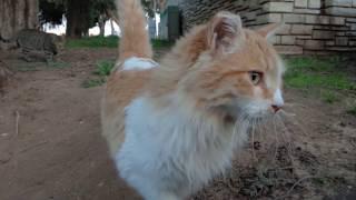 猫 Рыжая красавица не захотела знакомиться со мной и ушла, виляя красивым задом아름다운 고양이 Nice cats美しい猫