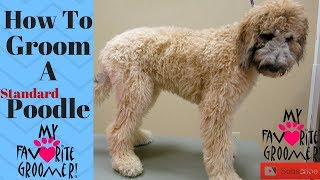How to Groom Standard Poodle