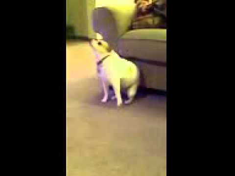 Dog Dancing To Eminem Shake That Ass For Me - download