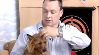Австралийский терьер / Australian Terrier