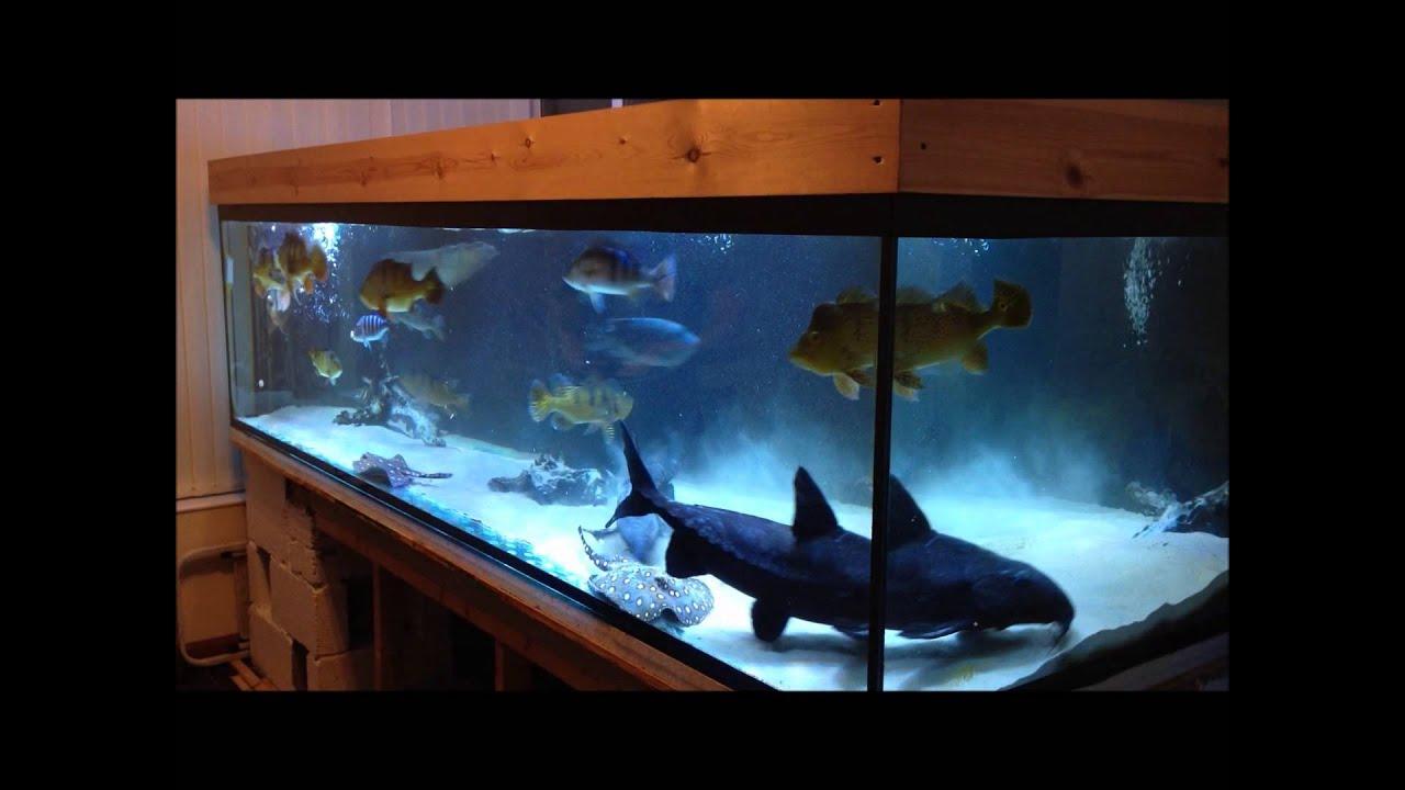 Peacock Bass Tank Update - 750 Gallons - YouTube