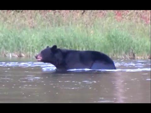 Black Bear Crosses Pine Creek