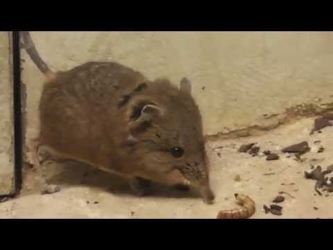 Round eared sengi eat a worm - Video in HD