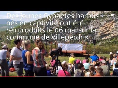 Des jeunes Gypaètes barbus nés en captivité ont été réintroduits le 06 mai sur la commune de